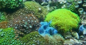 tanks : Clavularia or star polyps, glove polyps and other colorful polyps.