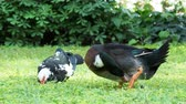 csip : Big farm ducks clean its feathers and search in grass for food