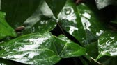 drop : Flower bed with plants under the rain. Wet foliage shining of raindrops.