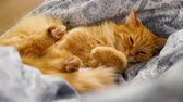 Cute ginger cat lying belly up on chair. Fluffy pet dozing on blue linen. Cozy home. Стоковые видеозаписи