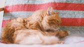 prazer : Cute ginger cat lying on chair. Fluffy pet licking its fur on striped fabric. Cozy home. Slow motion.