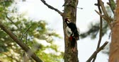 extrato : Great spotted woodpecker, Dendrocopos major, knocks on the bark of a tree, extracting edable insects. Bird in winter forest. Vídeos