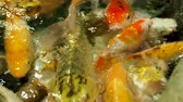 teem : Aquarium full of hungry carp Koi fishes. Cyprinus carpio with open wide mouths. Sochi, Russia. Stock Footage