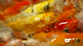 tumultuous : Aquarium full of hungry carp Koi fishes. Cyprinus carpio with open wide mouths. Sochi, Russia. Stock Footage