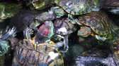 group of animal : Pond slider, Trachemys scripta, common medium-sized semi-aquatic turtle. Red-eared turtles.