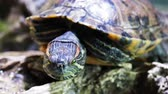 tartaruga : Pond slider, Trachemys scripta, common medium-sized semi-aquatic turtle. Red-eared turtles.