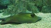 cartilaginous : Batoidea. Cartilaginous fish commonly known as rays. Stock Footage