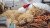 mikulás : Cute ginger cat lying in Santa Claus red hat. Fluffy pet dozing on work table. Christmas and New Year holiday. Stock mozgókép