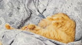 doze : Cute ginger cat lying belly up on chair. Fluffy pet dozing on blue linen. Cozy home. Vídeos