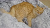 lin : Cute ginger cat lying belly up on chair. Fluffy pet dozing on blue linen. Cozy home. Vidéos Libres De Droits