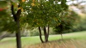 ahornbaum : Green and orange maple trees shooted with Lens Baby sweet 35mm. Natural autumn background with bokeh.