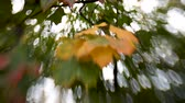 объектив : Green and orange maple leaves shooted with Lens Baby sweet 35mm. Natural autumn background with bokeh.