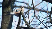 aves : Natural background with Eurasian jay, Garrulus glandarius. Bird in winter forest.