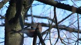 branches : Natural background with Eurasian jay, Garrulus glandarius. Bird in winter forest.