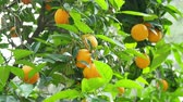 tropical climate : Orange tree with fresh ripe fruits in foliage. Turkey.