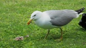 leftover : Seagull eat leftovers. Bird quickly swallows something edable.