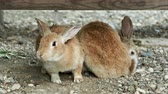 zając : Pair of brown fluffy rabbits sitting on ground. Wideo