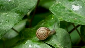 se movendo para cima : Snail slowly crawling on a wet green leaf. Natural background with moving insect.