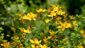 coletar : Bees collect pollen from blooming Hypericum flowers. Natural summer background. Vídeos