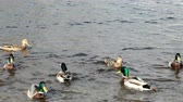 float : Drakes and ducks fighting among themselves for food. Neva river, Saint-Peterburg, Russia.