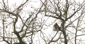 pássaro : Fieldfare Turdus pilaris sitting on frozen tree branches. Close up footage of colorful bird in winter forest. Stock Footage