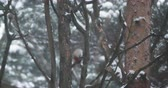 specht : Great spotted woodpecker, Dendrocopos major, knocks on the bark of a tree, extracting edable insects. Bird in winter forest. Stock Footage