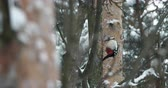a major : Great spotted woodpecker, Dendrocopos major, knocks on the bark of a tree, extracting edable insects. Bird in winter forest. Stock Footage