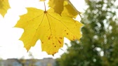 daytime : Autumn natural background with yellow maple tree foliage. Stock Footage