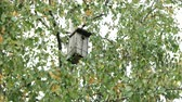 vrabec : Wooden birdhouse attached among the birch tree branches. Autumn foliage with yellow leaves Dostupné videozáznamy