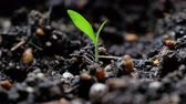 cultivating : Young plant seedling on black compost Stock Footage
