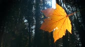 Single leaf with sun shining through and forest in the background. Autumn. Loop. Стоковые видеозаписи