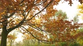 пышный : Autumn fall oak tree leaves and branches in park forest. Seasonal nature. 4K steadicam shot ProRes HQ codec.