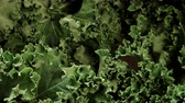 clorofila : Green fresh kale leaves as food background 4K