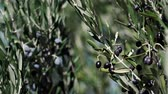 zeytinyağı : Olives on olive tree in autumn. Season nature 4K