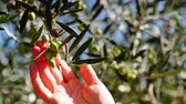 palmiye : Gardener hand touching olive on tree 4K