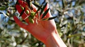 zeytinyağı : Gardener hand touching olive on tree 4K