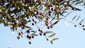 yeşil arka plan : Olives on olive tree in autumn. Season nature 4K