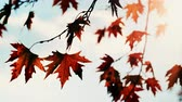 sunbeams : Autumn maple tree leaves against sky