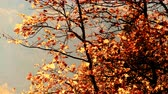 luxuriante : Autumn trees leaves as nature background