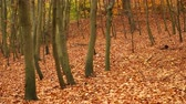 laub : Herbstfallpark-Waldlandschaft. Saisonale Natur. 4 K steadicam shot ProRes-HQ-Codec.