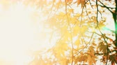 outonal : Sun shining through the fall leaves blowing in the breeze