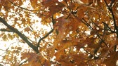 青々とした : Autumn fall oak tree leaves and branches in park forest. Seasonal nature. 4K steadicam shot ProRes HQ codec.
