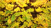 пышный : Autumn colorful leaves on the background 4K steadicam shot ProRes HQ codec