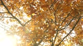 carvalho : Autumn fall oak tree leaves and branches in park forest. Seasonal nature. 4K steadicam shot ProRes HQ codec.