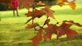 carvalho : Autumn fall oak tree leaves and branches in park forest. 4K steadicam shot ProRes HQ codec. Stock Footage