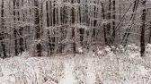 krajobrazy : Winter forest. Trees covered with snow.
