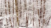 erdő : Winter forest. Trees covered with snow.