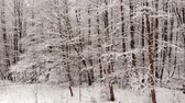 geada : Winter forest. Trees covered with snow.