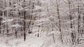 dondurucu : Winter forest. Trees covered with snow.