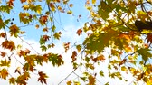 paprsek : Autumn maple tree leaves on blue sky 4K Dostupné videozáznamy